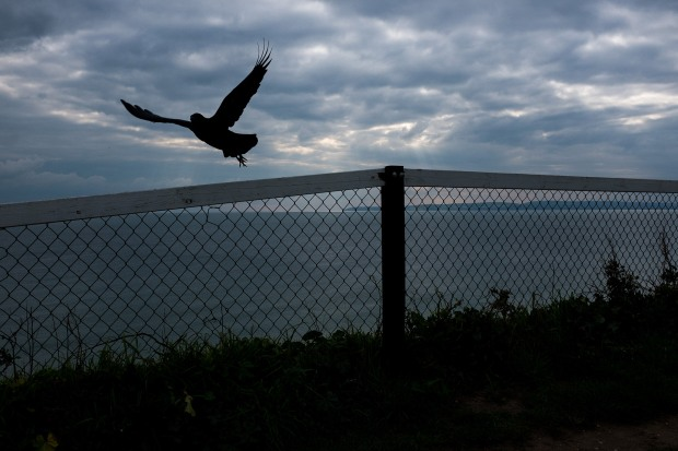 Crow takes flight from railings on the cliff tops at Fisherman's Walk,  Bournemouth. © Neil Turner, October 2015 © Neil Turner